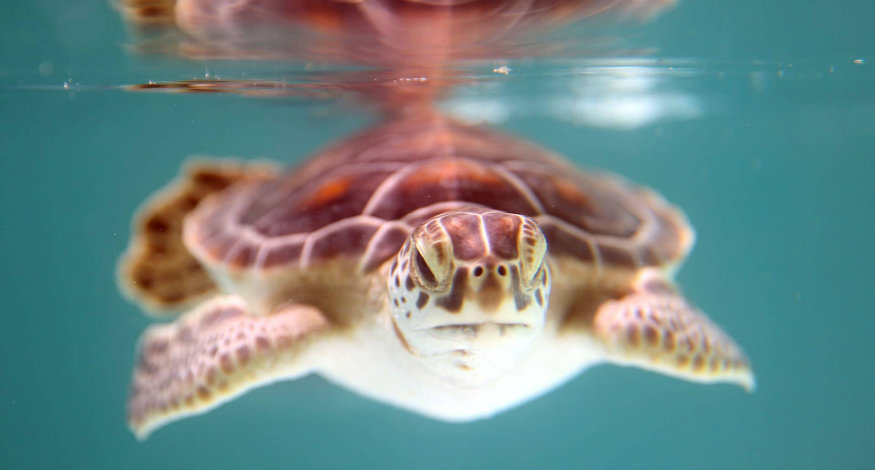 HotelXcaret and Marine Turtle Conservation Program