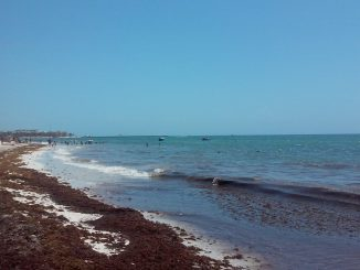 US aids Mexico in seaweed efforts