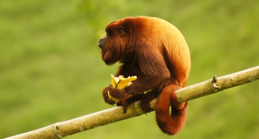 Howler monkeys live at Iberostar Tucan