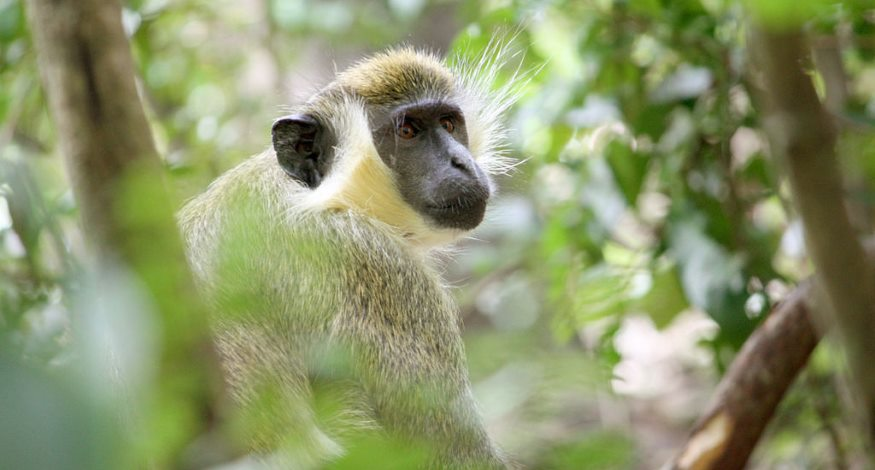 Green monkey in Barbados